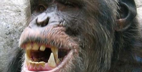 chimpanzee alpha male